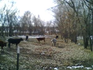 cattlerun2