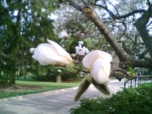 Fragrant white magnolias